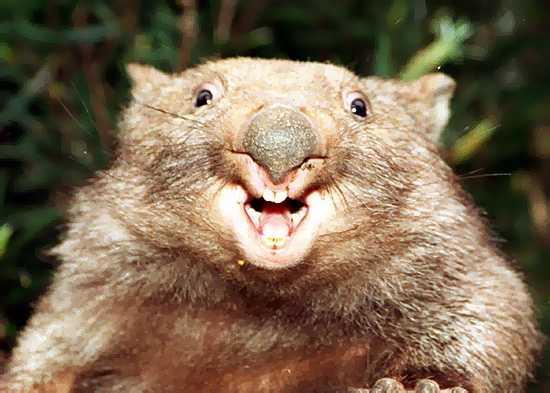 Onda Gergely (Wombat)